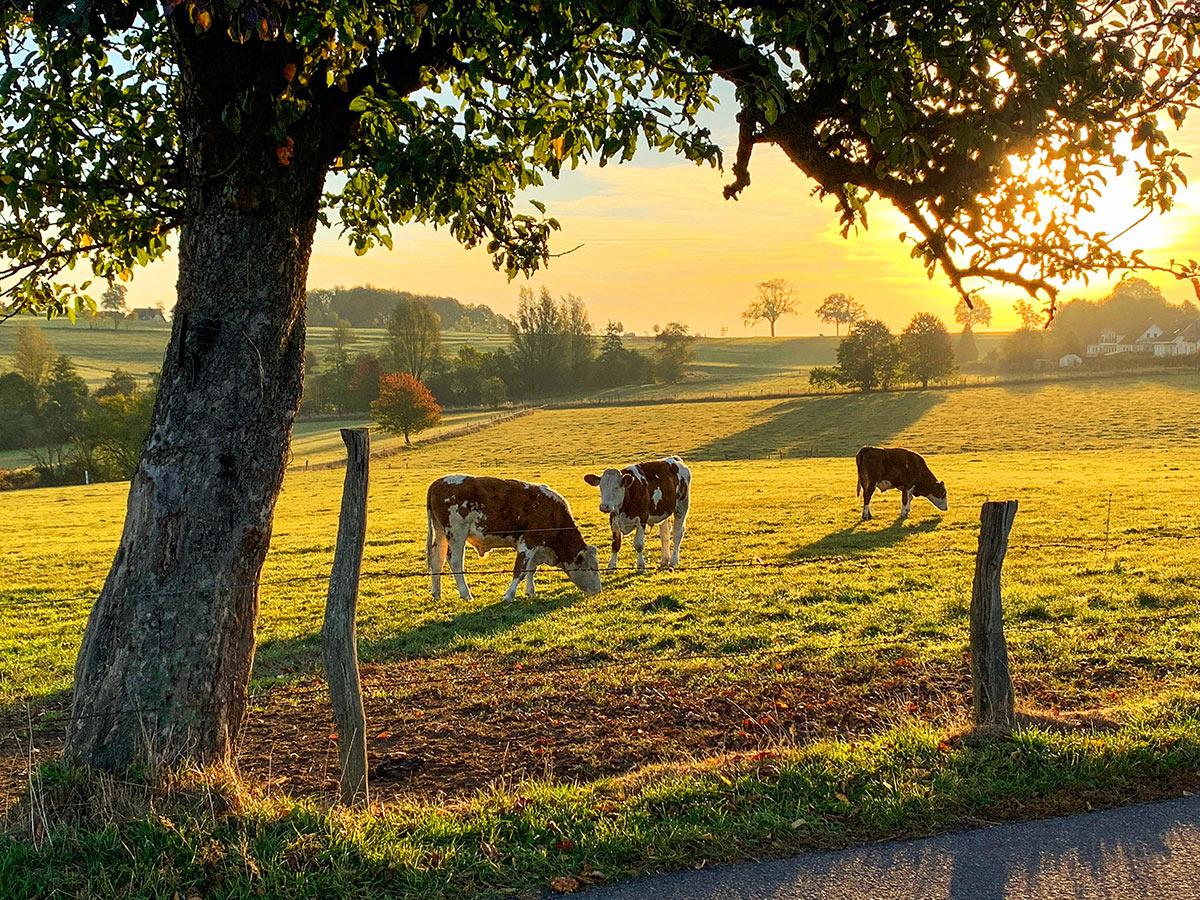 Kühe auf Weide. Foto: GM